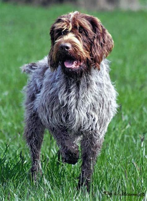 wire haired griffon puppy wirehaired pointing griffon
