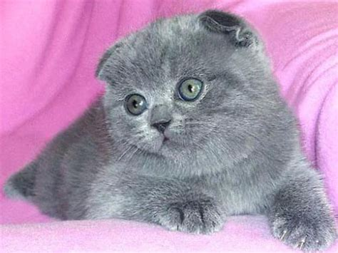 Кошки фото британца вислоухие