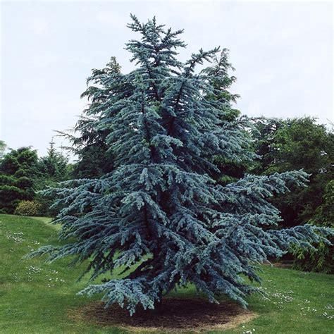 cedar trees blue atlas cedar clarenbridge garden centre