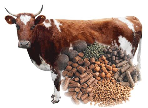 Cattle Feed Cattle Feed Pellets Guide Ecochicks Poultry Ltd