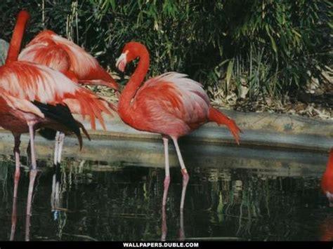 flamingo club wallpaper the animal kingdom images flamingo hd wallpaper and