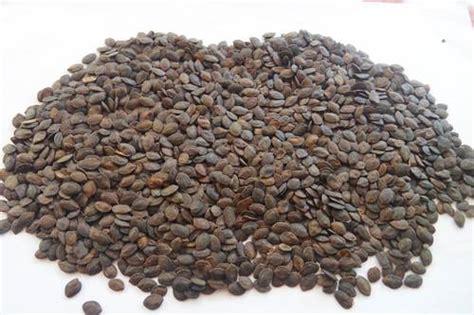 Jual Bibit Kaliandra Di Bogor jual biji benih kaliandra merah biji benih kaliandra
