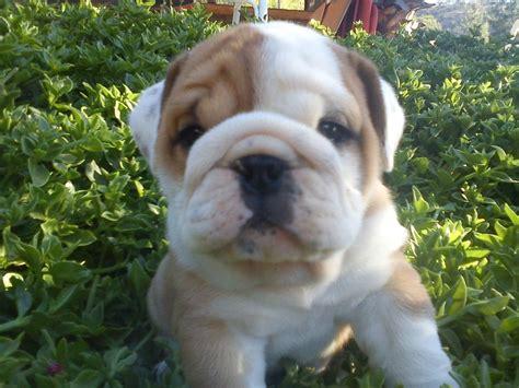 imagenes de cachorros bulldog ingles fotos bulldog ingl 233 s cachorros wikipets