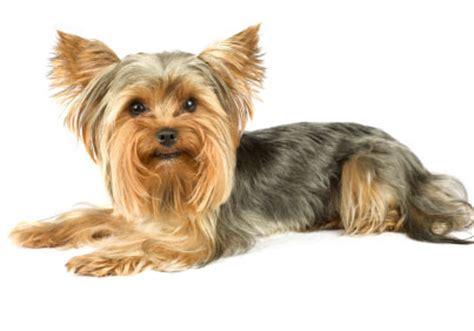 yorkie rescue illinois terrier rescue design bild