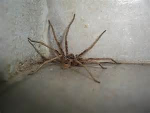 aggressive house spider pictures