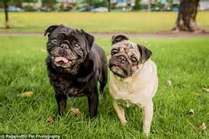 pug rescue uk adopting pugs will tie the knot in charity wedding complete with dress and event designers