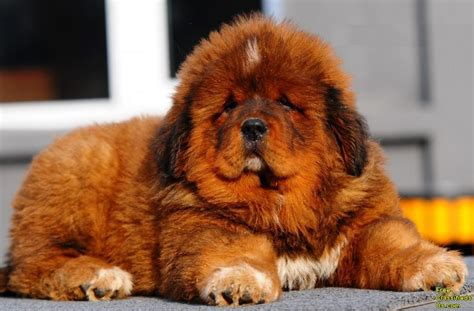tibetan mastiff puppy the world s most expensive