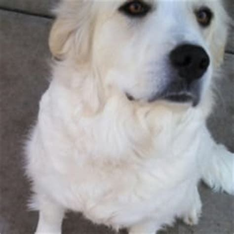 dirks fund golden retrievers dirk s fund golden retriever rescue 12 reviews pets 536 indian warpath dr