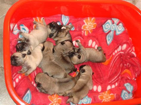 teacup pugs for free teacup pugs adoption breeds picture
