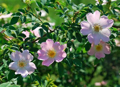 iowa s state flower iowa pinterest hundsrose 187 wann ist bl 252 tezeit