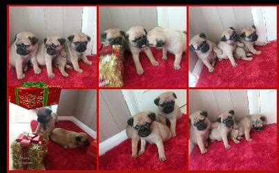 pugs for sale in northtonshire pug puppies for sale wellingborough northtonshire pets4homes