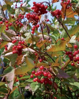 what deciduous tree has berries in winter 8 trees and shrubs with showy fall fruit finegardening