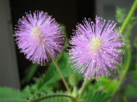 mimosa coltivazione in vaso mimosa pudica coltivazione