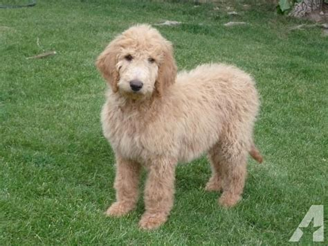 goldendoodle puppy price price reduction goldendoodle puppy for sale in alberton montana classified