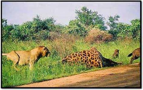 african lion safari best five destinations