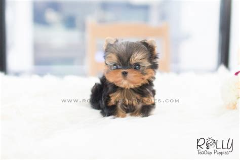 rolly teacup puppies for sale zio yorkie m rolly teacup puppies