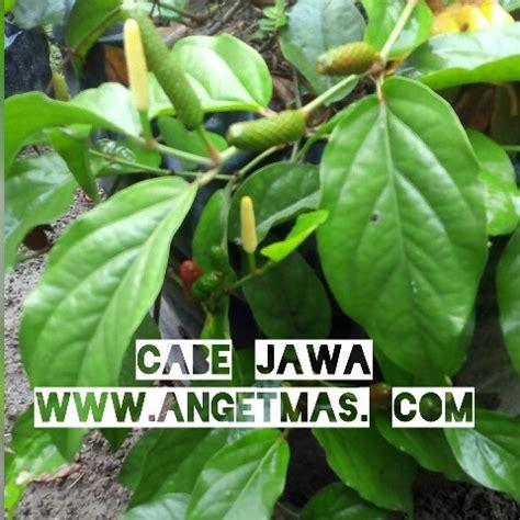 Bibit Cabe Puyang bibit tanaman cabe jawa atau cabe jamu nama cabe