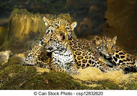 imagenes de jaguar bebe stock fotos de jaguar cachorros poco beb 233 jaguar