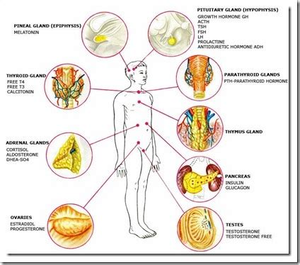 Multiple Choice Quiz On Endocrine Glands And Hormones