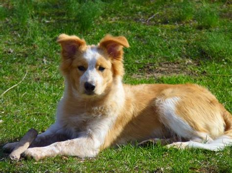 border collie x golden retriever puppies for sale golden collie border collie x golden retriever mix temperament puppies
