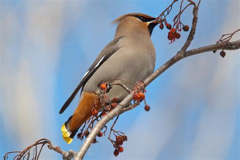 birds of the world waxwings