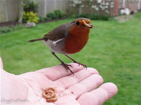 mealworms alive or dried feeding garden visitors