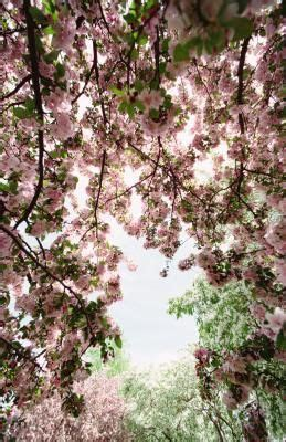 weeping cherry tree 6 foot 1000 ideas about weeping cherry tree on flowering trees cherry tree and trees to plant