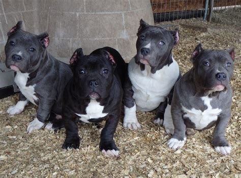 pitbull puppies for sale in ga only two remaining available pups