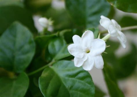 Sari Lerak Aroma Mawar Dan Melati mengenal macam macam nama bunga dalam bahasa inggris bibitbunga