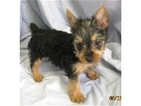 silky terrier puppies for sale silky terrier puppies for sale