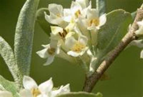 olive fiori di bach depressione post partum i rimedi naturali i fiori di bach