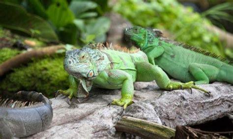 imagenes iguanas verdes iguana verde fotos cuidados alimentaci 243 n y 191 podemos