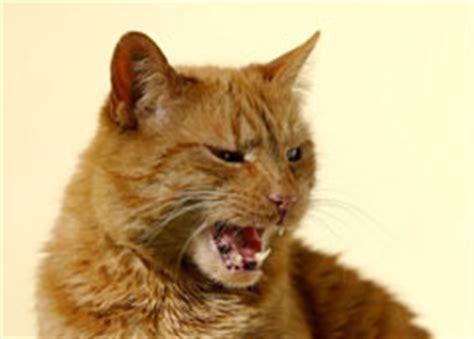 wann katzen impfen was tun wenn schreiende katzen nerven mf tierblog