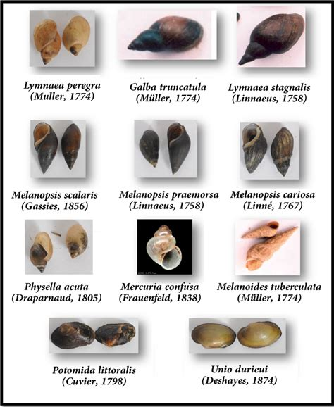 Types Of Garden Snails - environments free full text distribution of fresh water mollusks of the gharb area morocco