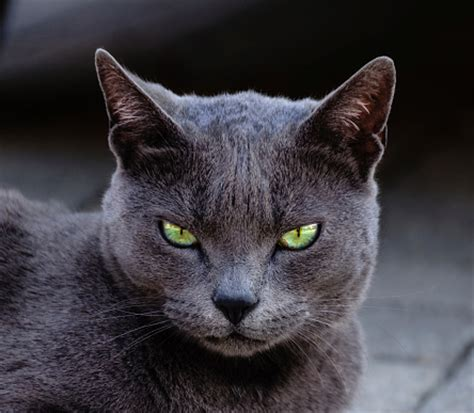 blue cats 1000 ideas about russian blue cats on russian