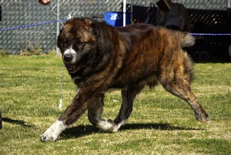 asian dogs protection central asian shepherd