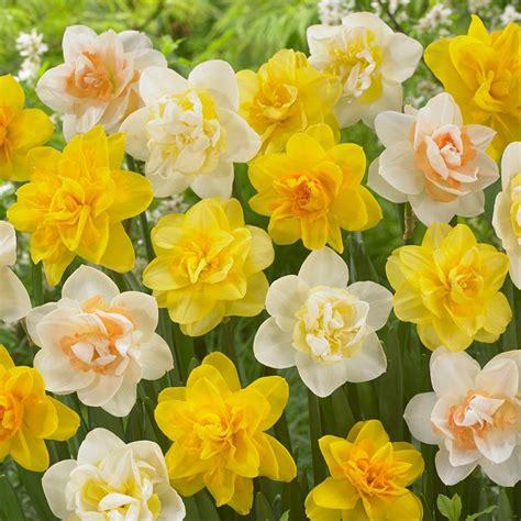 bloomsz daffodil mix flower bulb 8 pack 07572