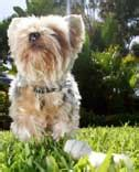 havanese teeth problems top breeds identified for teeth and gum problems vetwest animal hospitals