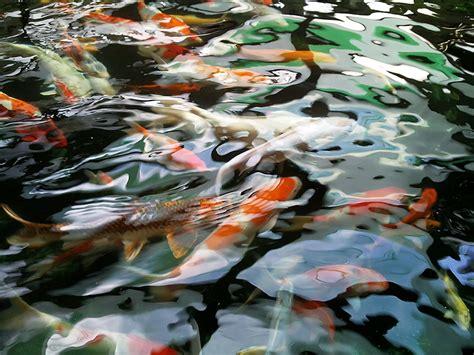 koi fish wallpaper best cool wallpaper hd download