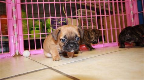 puppies for sale in ga charming brindle bullshih puppies for sale in ga at puppies for sale local breeders