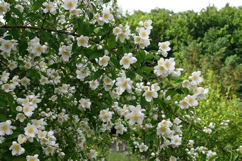 Flowers In Garden Images False Philadelphus Words And Herbs