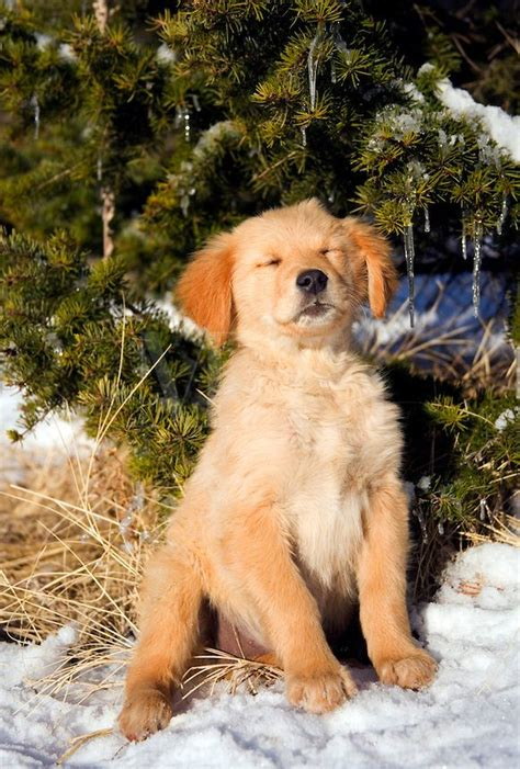 evergreen golden retrievers 1000 images about golden pups on adorable puppies puppies and