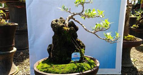 Bakalan Bonsai Sisir perbanyakan tanaman bonsai centralbonsai berbagi