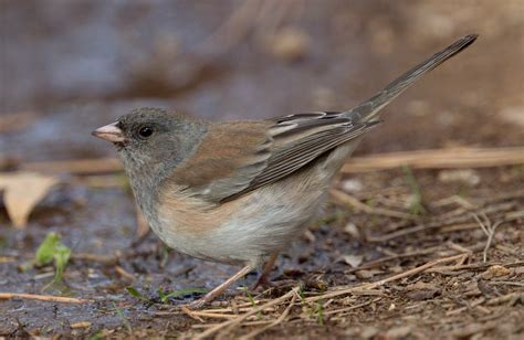oregon junco san diego bird spot