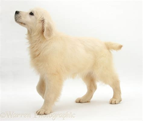 16 week golden retriever golden retriever pup photo wp28136