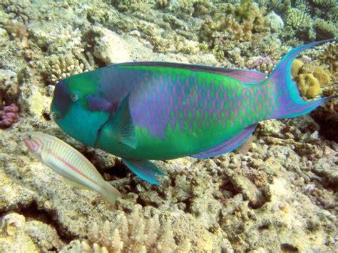 iwake nesta brow  ikan tercantik  terkseksi  dunia