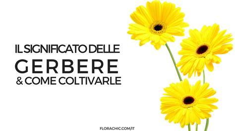 significato fiori gerbera significato della gerbera e come coltivarla florachic