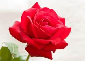 imagenes de rosas sangrientas monsanto patenta una rosa que no se marchita el expreso