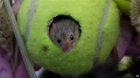 flood hit mice in leicestershire get tennis homes