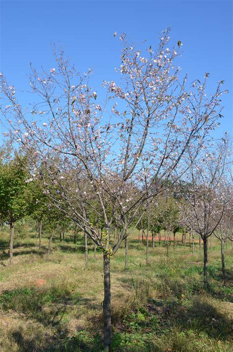 autumn flowering cherry what grows there hugh conlon horticulturalist